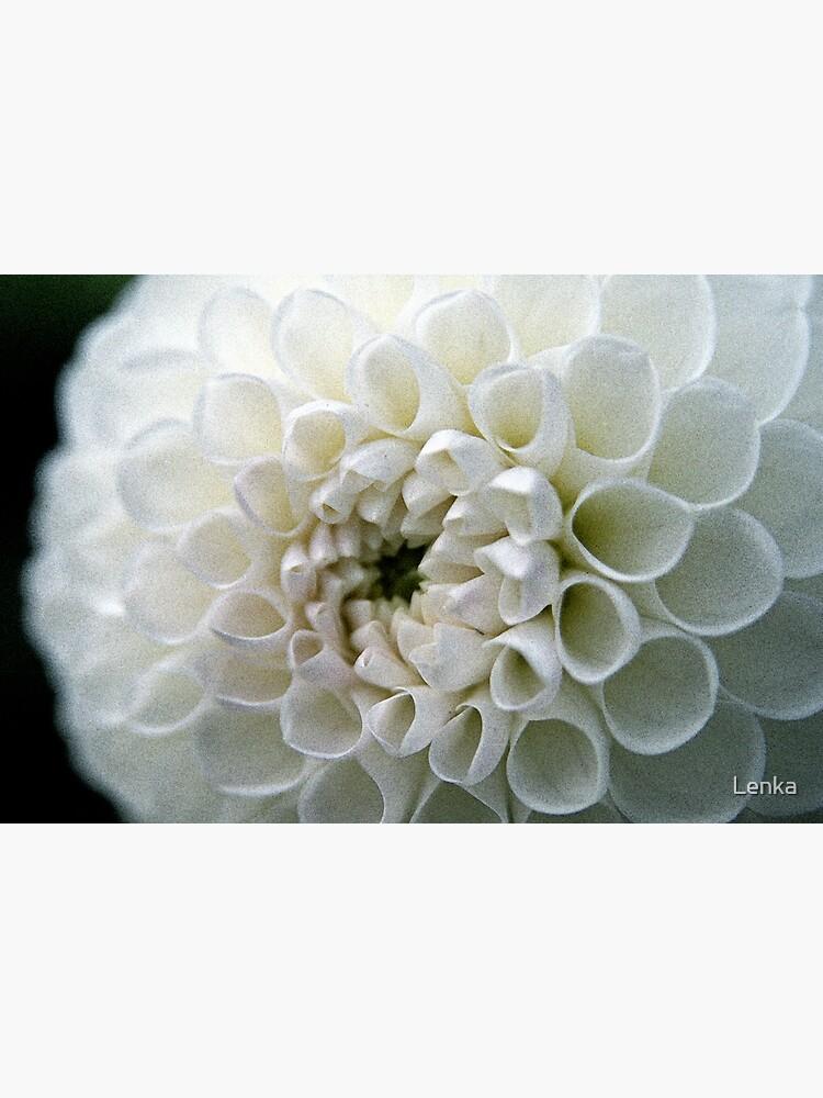 Dahlia in white by Lenka