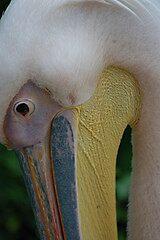 Pelican by cml16744