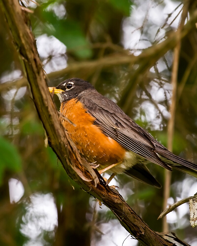 Robin by StephenCoyle