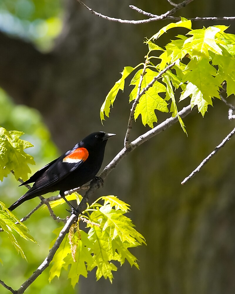 Red Winged Black Bird by StephenCoyle