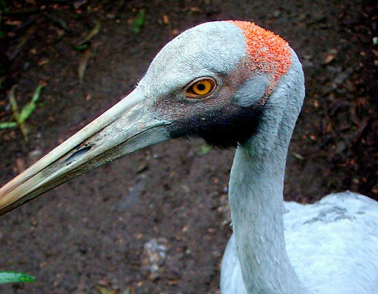 Brolga by Tom Newman