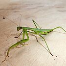Praying Mantis by Bine