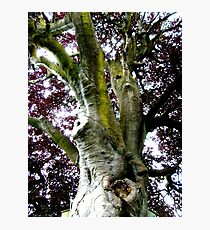 Looking up the Elephant Tree (Copper Beech) Photographic Print