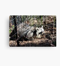 Escaping Racoon Canvas Print