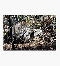 Escaping Racoon Photographic Print