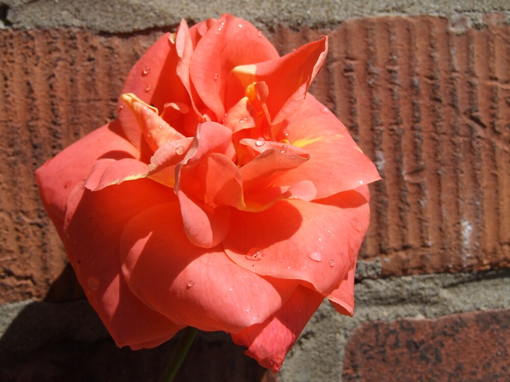 rose agianst the wall by David s Ellens