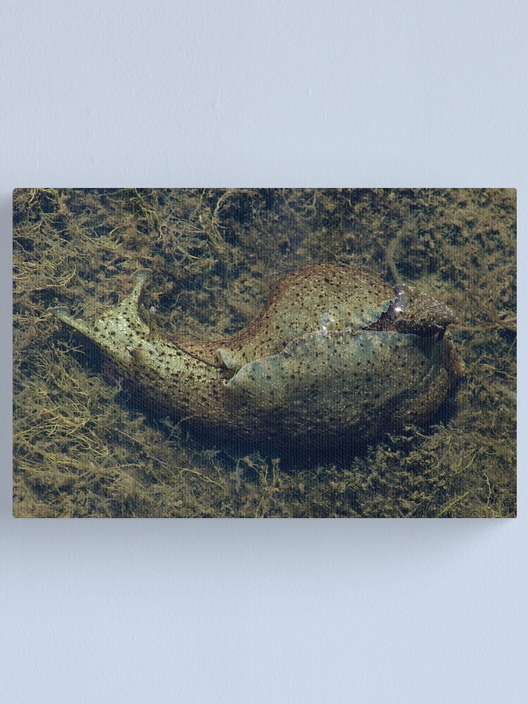 Alternate view of Sea hare Canvas Print