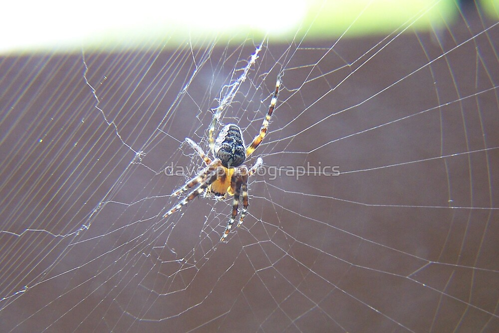 Spider by davesphotographics