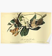 James Audubon Vector Rebuild - The Birds of America - From Drawings Made in the United States and Their Territories V 1-7 1840 - Black Billed Cuckoo Poster