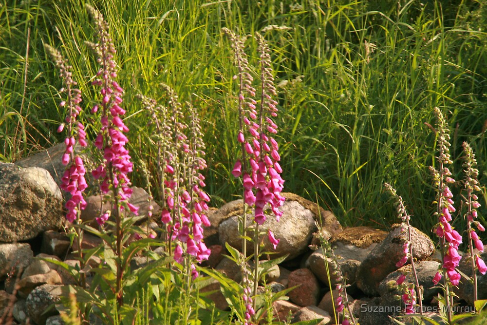 wild foxgloves by Suzanne Forbes-Murray