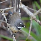 Fantail up close by lizdomett