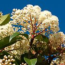 Photinia flower by Catherine Davis