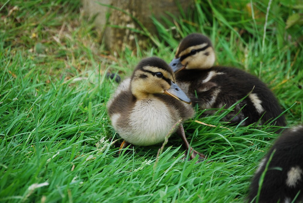 ducklings 2 by ampwizbit