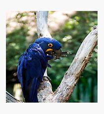 Blue Macaw Photographic Print