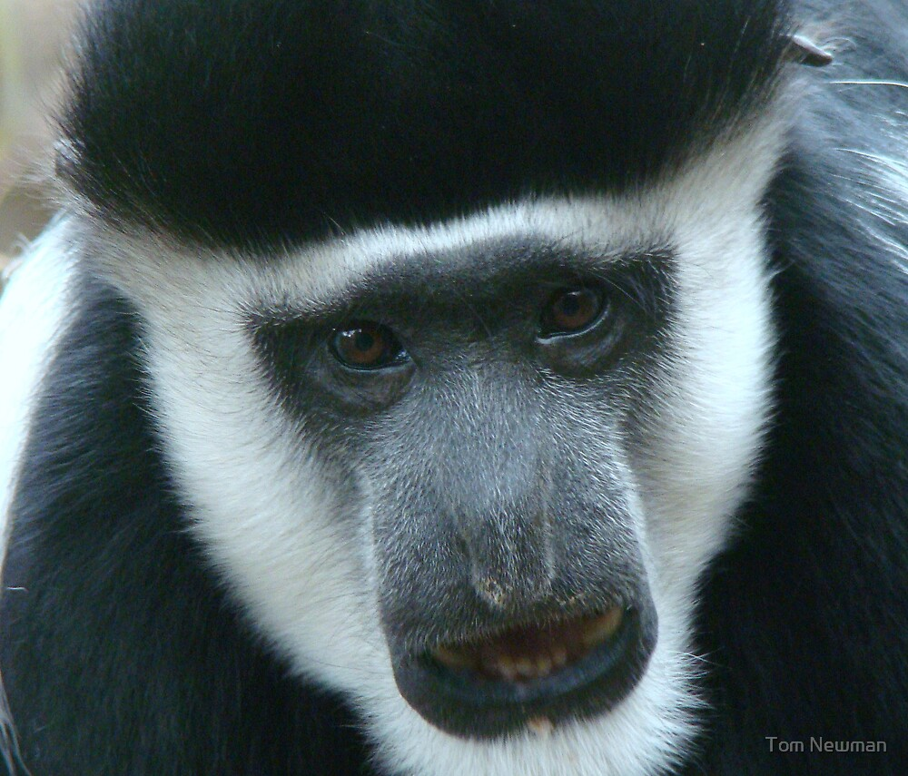 Colobus Monkey by Tom Newman