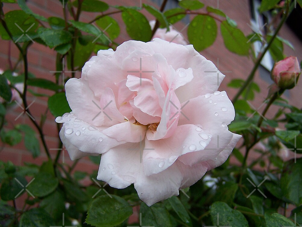 Pale Pink Rose .. after the rain 2 by LoneAngel