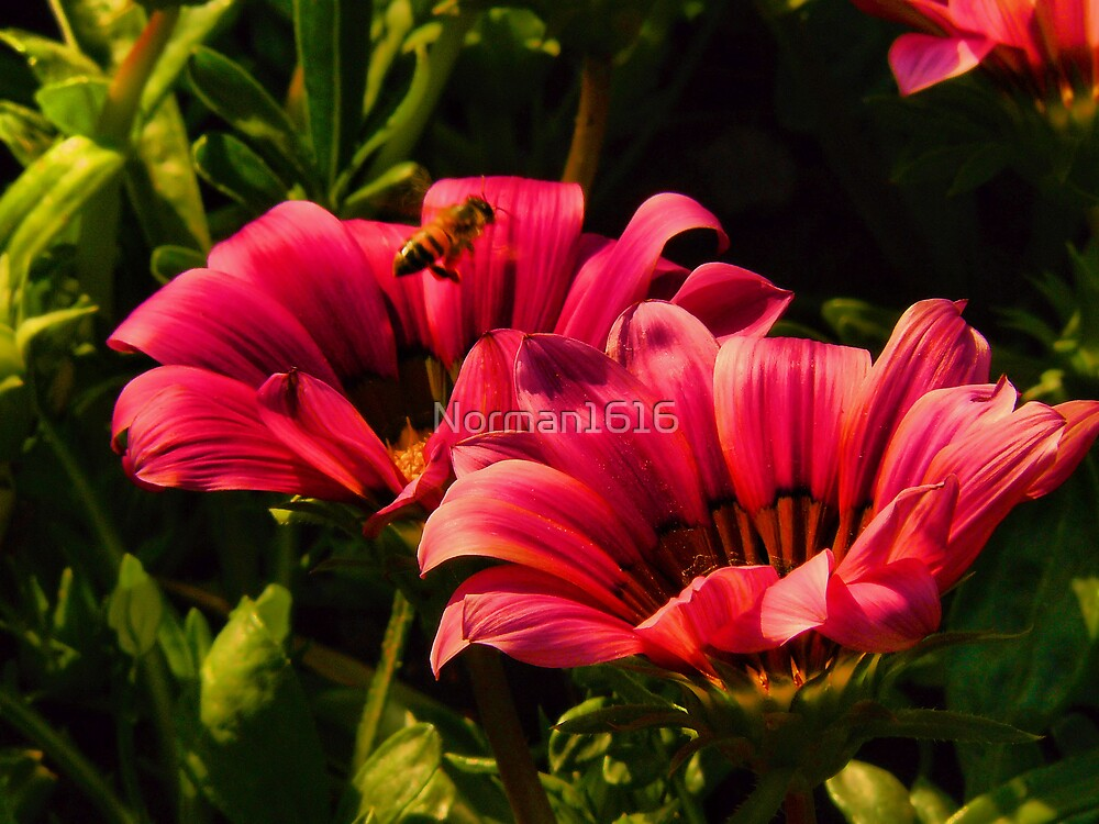 Pink by Norman1616