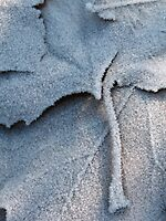 Frosted Leaf © by JUSTART