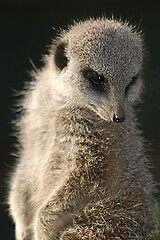 Meercat by cml16744