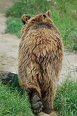 Brown Bear by cml16744