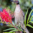 Noisy Friarbird by bidkev1