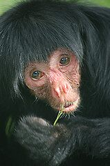 Red Faced Spider Monkey by cml16744