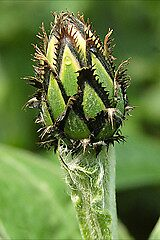 Corn Flower Bud by cml16744