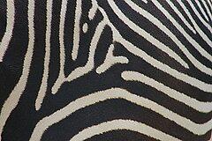 Zebra Close up by cml16744