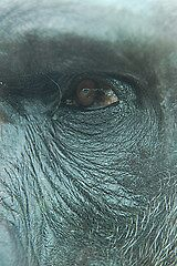 Gorilla Close Up by cml16744