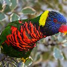 Rainbow Lorikeet by Country  Pursuits