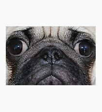 sweet pug  Photographic Print