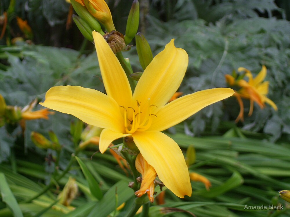 star flower by Amanda black