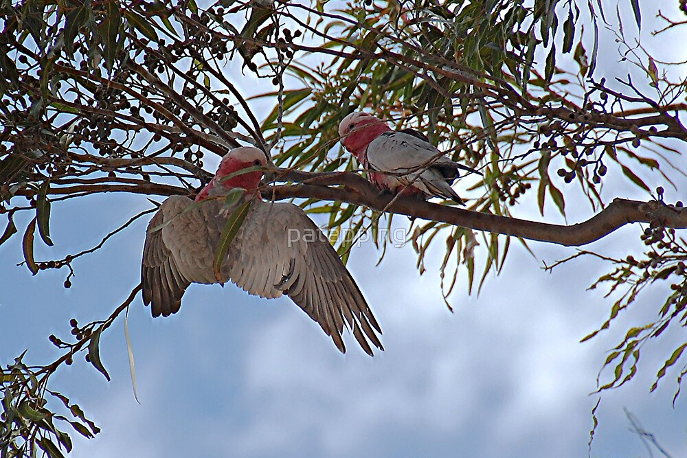 Courting Galah's by patapping