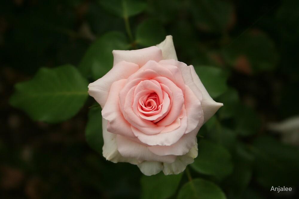 Pink Rose by Anjalee