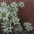 Flannel Flowers by Thanh Duong