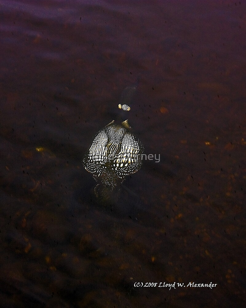 Underwater Adventure Of A Loon by lloydsjourney