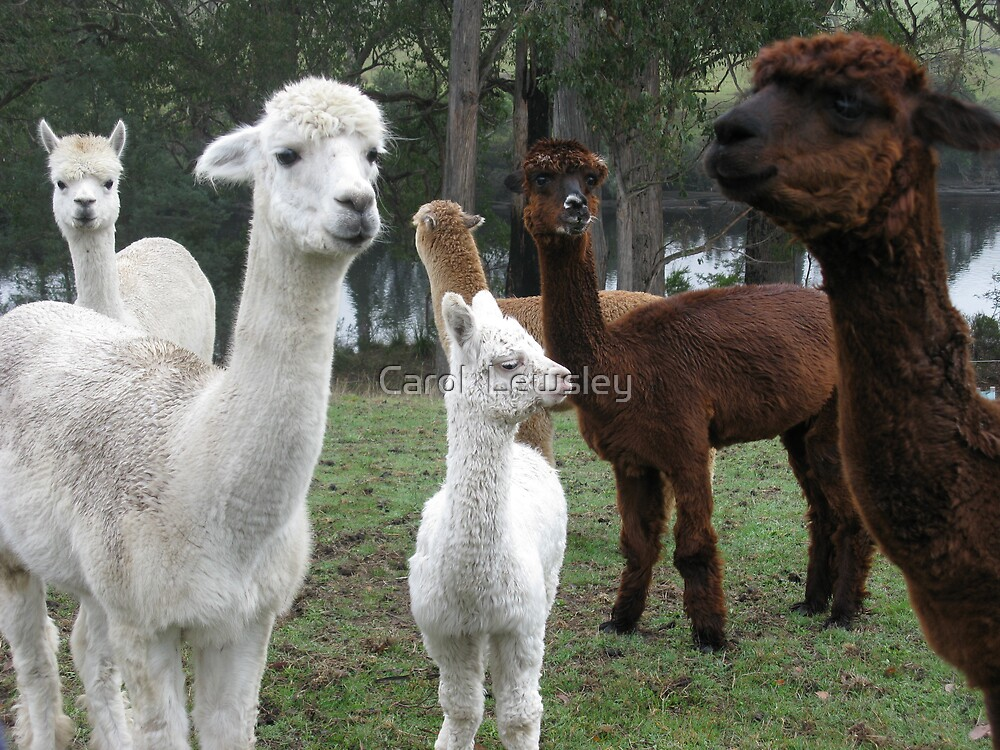 alpaca curiosity by Carol  Lewsley