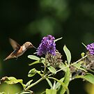 Hummer to nectar by eyes4nature