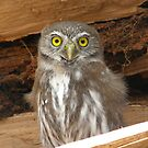 Austral pygmie owl by MichaelBr