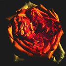 Fire Rose by Luci Mahon