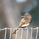 Successful Phoebe by eyes4nature