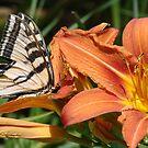 ButterflyLily - Open & friendly by tkrosevear