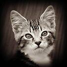 Frodo Kitten by fantasytripp