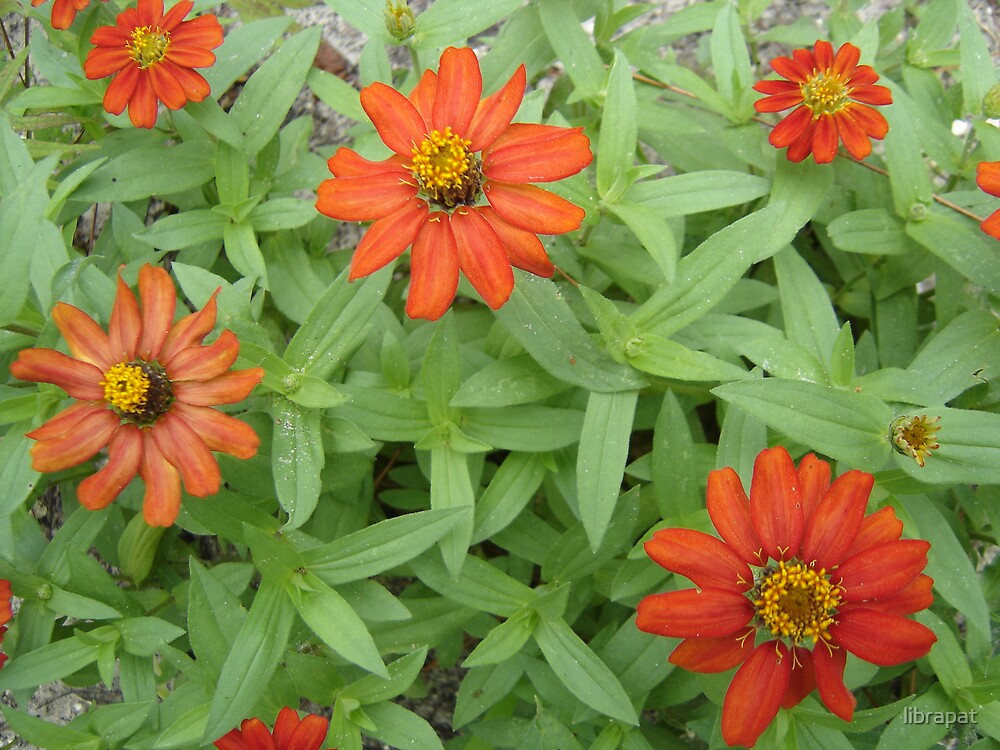ORANGE ZINNIA FLOWER PATCH by librapat