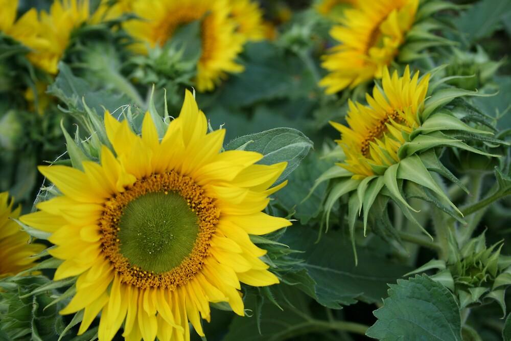 Sunflowers by bethstedman