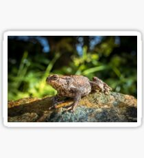 Amphibian, Common British Toad / Frog Sticker