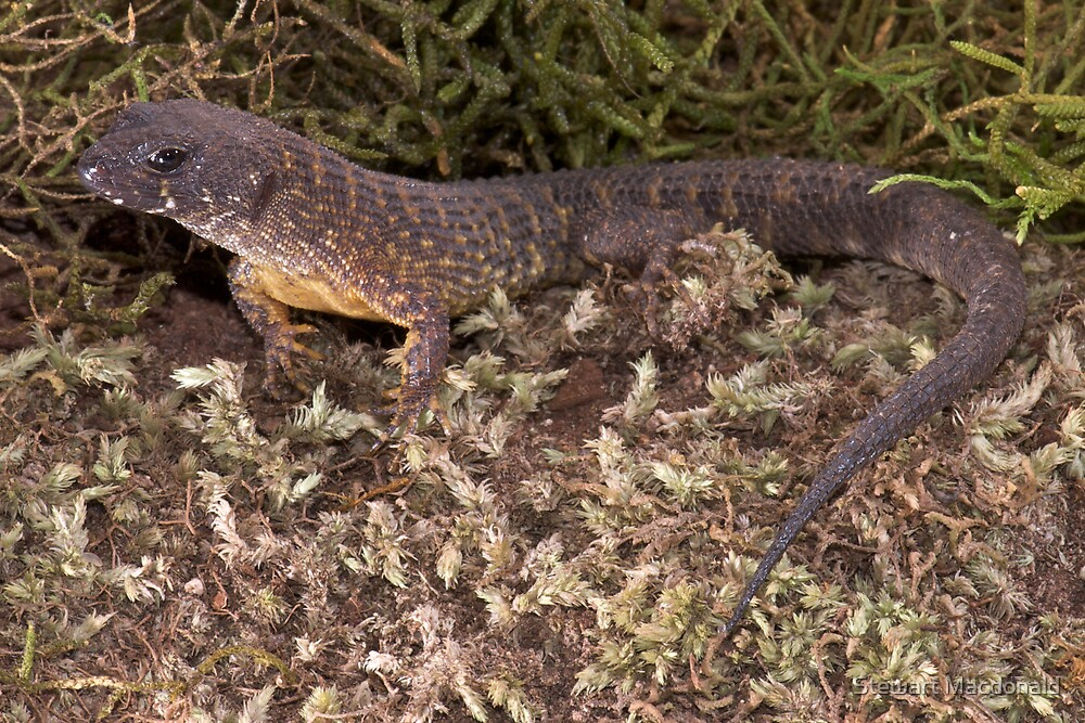 Prickly forest skink by Stewart Macdonald