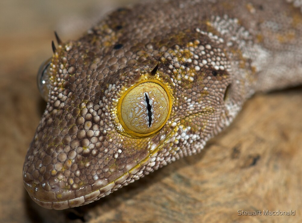 Northern spiny-tailed gecko by Stewart Macdonald