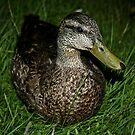 Quack! by JaneTara Oliver