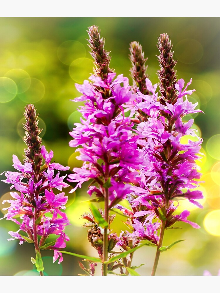 Purple Loosestrife  by ScenicViewPics